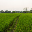 Ridge and rice field in Thailand — Stock Photo