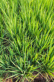 Clump of rice — Stock Photo
