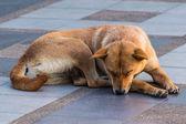Dog Sleeping On Pedestrian — Stock Photo