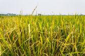 Golden fields blue skies — Stock Photo