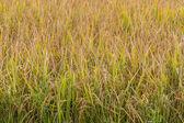 Golden fields in summer — Stock Photo
