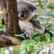 Koala in Tree, Chiangmai Zoo, zthailand — Stock Photo