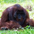The adult male of the Orangutan in Chiangmai Zoo, Thailand — Stock Photo