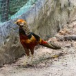 Orange pheasant in Chiangmai Zoo , Thailand — Stock Photo #36857379