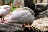 Flamingos in Chiangmai Zoo, Thailand — Stock Photo