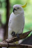 Cockatiel in Chiangmai Zoo , Thailand — Stock Photo