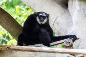 Gibbon in Chiangmai Zoo , Thailand — Stock Photo