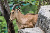 Goat on the stone in Chiangmai Zoo , Thailand — Stok fotoğraf
