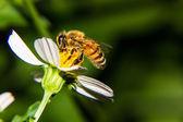 Macro of Bee on flower — Stock Photo