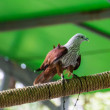 Hawk in Chiangmai Zoo , Thailand — Stock Photo