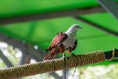 Hawk in Chiangmai Zoo , Thailand — Stock Photo