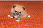 Cucciolo pomerania birichino — Foto Stock