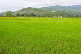 Thai field and Golden Buddha big statue at Wat Mokkanlan — Stock Photo