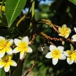 Frangipani plumeria Spa Flower — Stock Photo