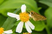 Farfalla nutrendosi di piccolo fiore bianco — Foto Stock
