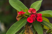 Red flowers Poi Sian — Stock Photo