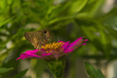 Butterfly feeding on Pink Straw flower — Stock Photo