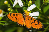 Butterfly feeding on little flower — Stockfoto