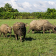 Masses Buffalo And tilted in Grass , Thailand — Stock Photo #37302415