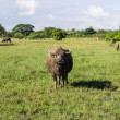 Masses Buffalo And tilted in Grass , Thailand — Stock Photo #37302459