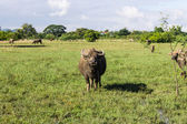 Masses Buffalo And The tilted in Grass , Thailand — Stock Photo