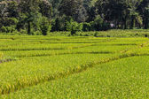 Golden Rice field in Chiangmai Thailand — Stock Photo
