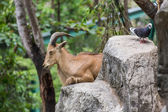 Close one's eyes Goat and Pigeon on the stone in Chiangmai Zoo — Стоковое фото