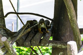 Slow loris monkey in Chiangmai Zoo, Thailand — Stock Photo