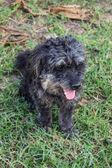 Black Poodle portrait — Fotografia Stock