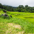 Stock Photo: Beautiful green Rice Terraces in Doi inthanon, Maeglangluang Karen village