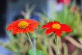 Orange Straw flower — Stock Photo