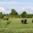 Masses Buffalo And tilted in Grass — Stock Photo #38201373