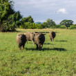 Masses Buffalo And tilted in Grass — Stock Photo #38231133