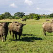 Masses Buffalo And tilted in Grass — Stock Photo #38231795