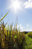 урожая риса в лучах солнца — Стоковое фото