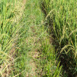 Stock Photo: Path Through Rice Fields