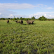 Masses Buffalo And The tilted in Grass — Stock Photo #38277085