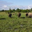 Masses Buffalo And The tilted in Grass — Stock Photo #38278195
