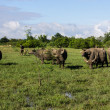Masses Buffalo And The tilted in Grass — Stock Photo #38278239