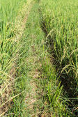 Path Through the Rice Fields — Stock Photo