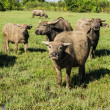 Masses Buffalo And The tilted in Grass — Stock Photo #38378583