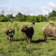 Masses Buffalo And The tilted in Grass — Stock Photo #38378769