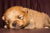 Little fluffy Pomeranian puppy — Stock Photo
