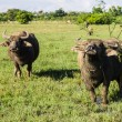 Masses Buffalo And tilted in Grass — Stock Photo #38414881