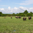 Masses Buffalo And The tilted in Grass — Stock Photo