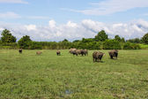 Masses Buffalo And The tilted in Grass — Foto Stock