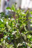 Holy basil tree — Stock Photo