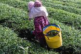 Akha Tea Pickers , Chiangrai Thailand — Stock Photo