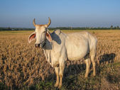 Cows at a Thai countryside Field — Stock Photo