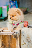 Pomeranian garb — Stock Photo